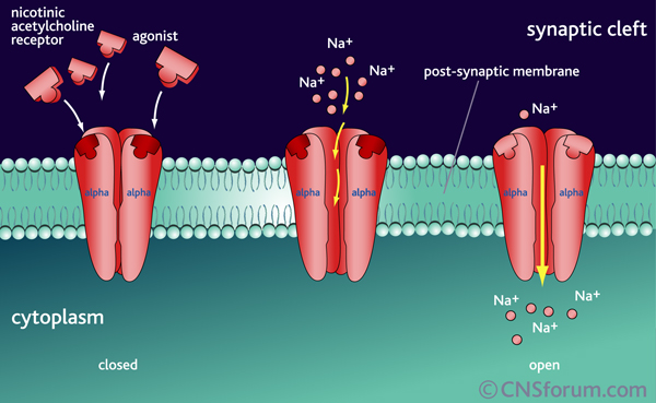 Gated ion channel allows ions and other materials to pass through the cell membrane