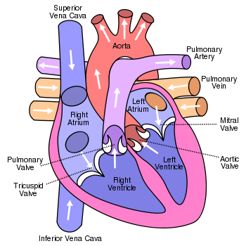 The pulmonary artery carries blood from the heart to the lungs the aorta carries blood from the heart to the tissues